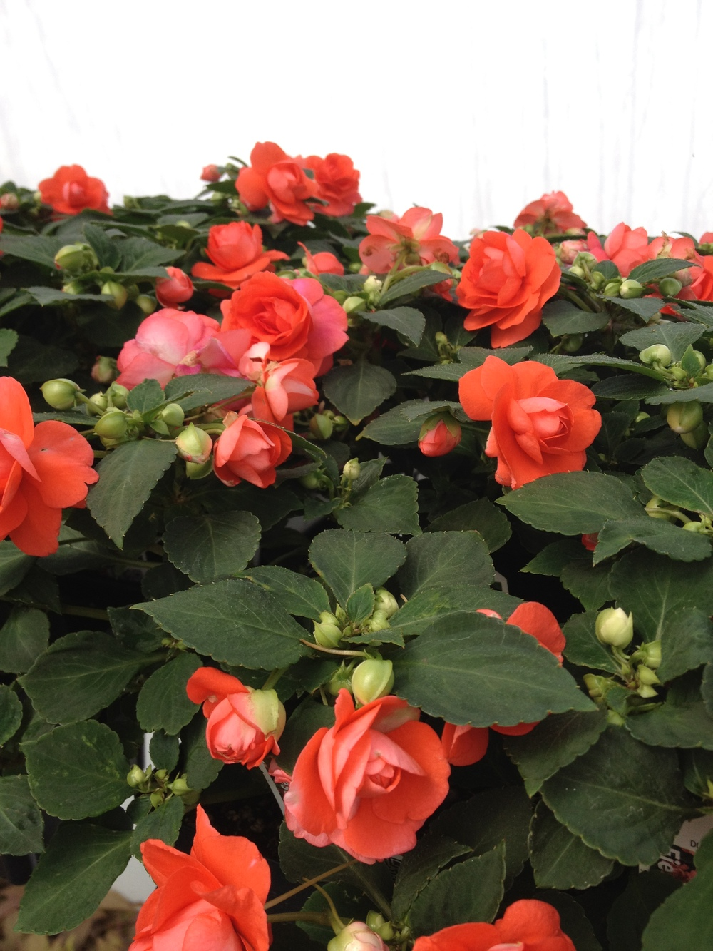 "4.5"" Salmon Double Impatiens"
