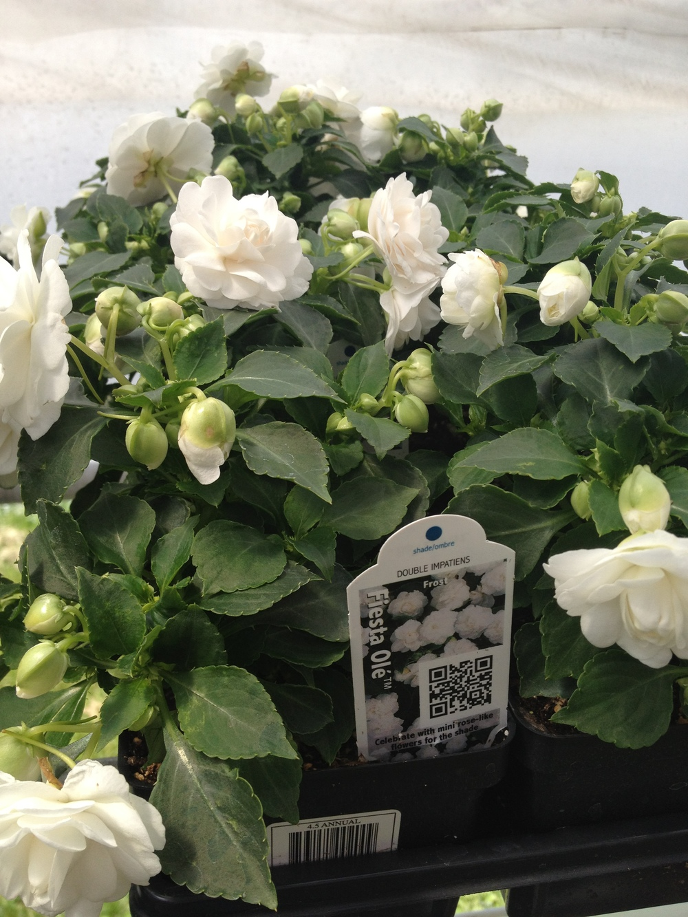 "4.5"" White Double Impatiens"