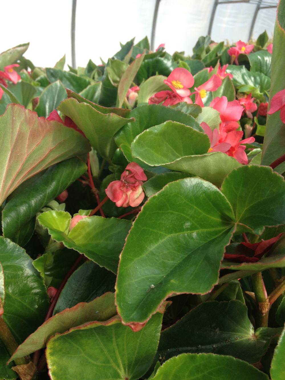 """4.5"""" Pink Dragonwing Begonia"""