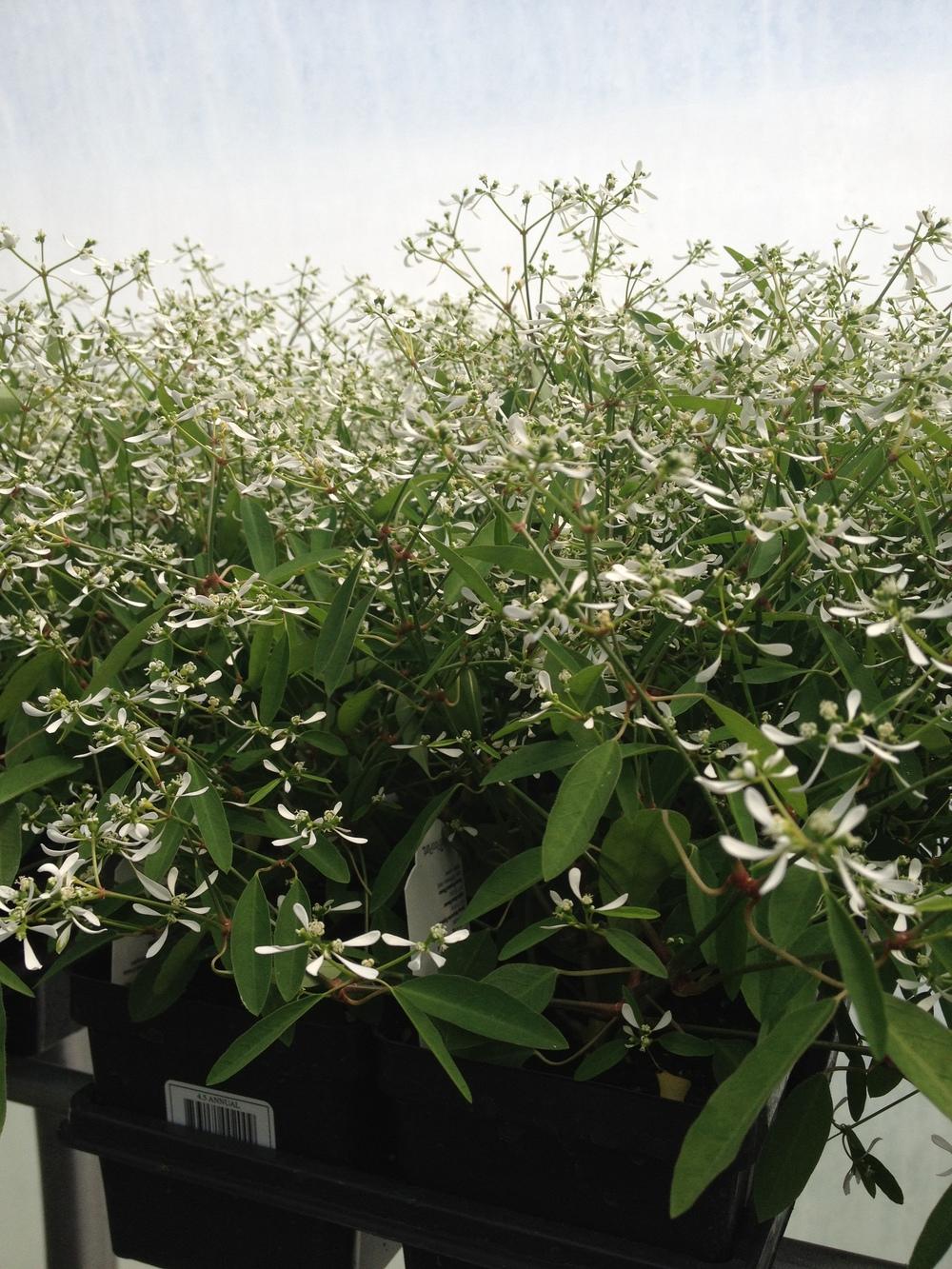 """4.5"""" White Euphorbia"""