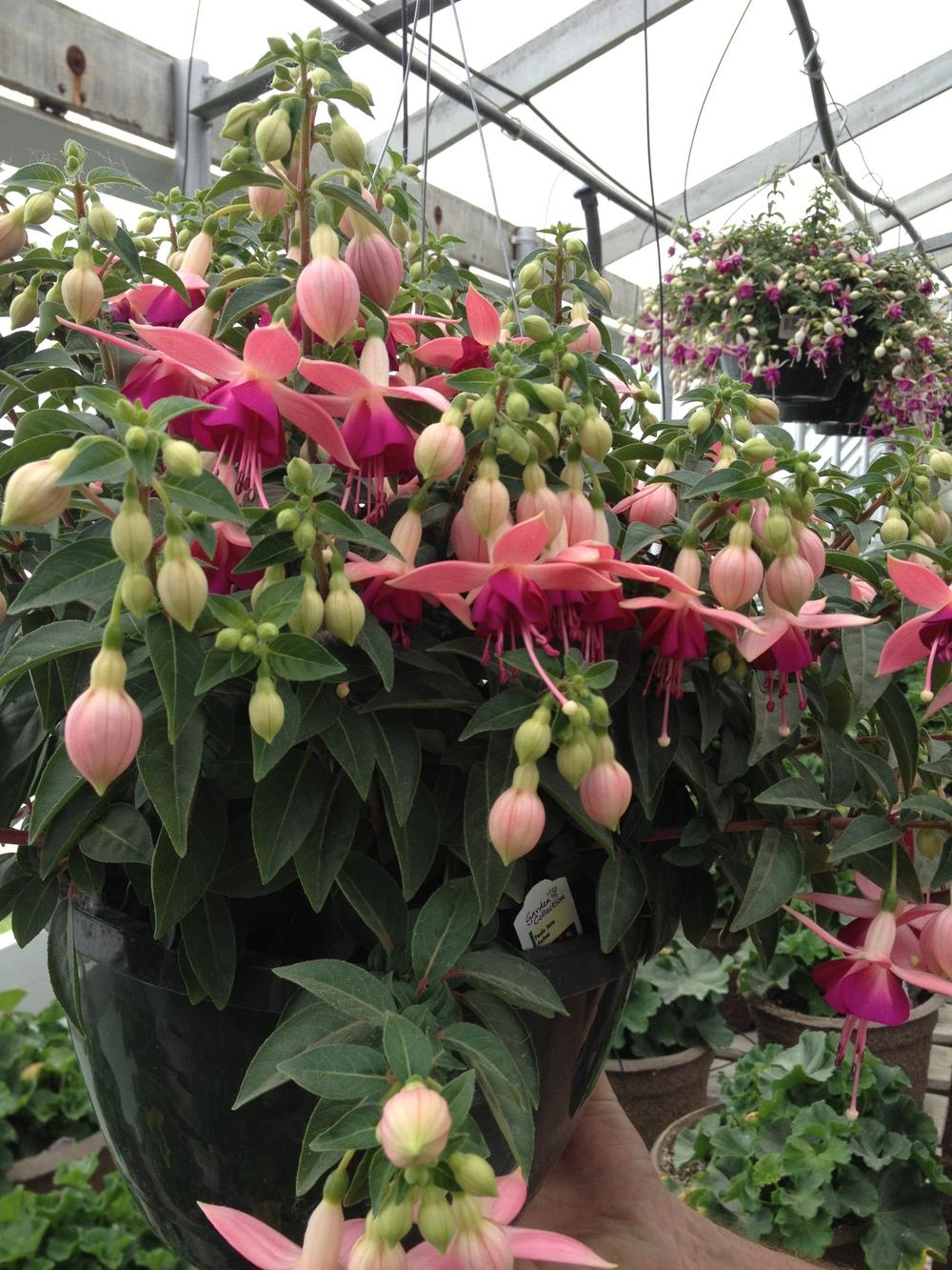 "10"" Fuchsia Hanging Basket"