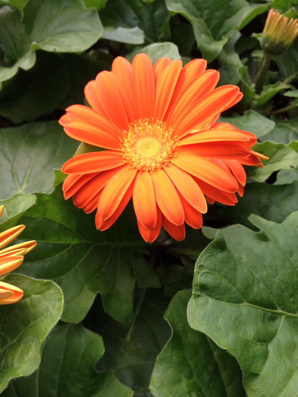 "4.5"" Orange Gerbera Daisy"