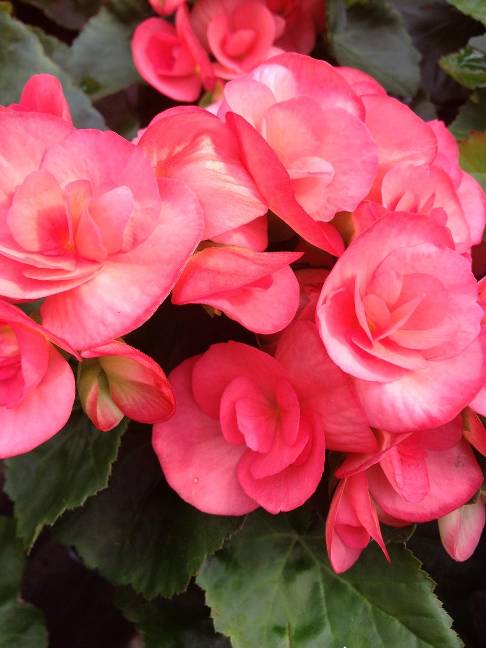 "4.5"" Pink Reiger Begonia"