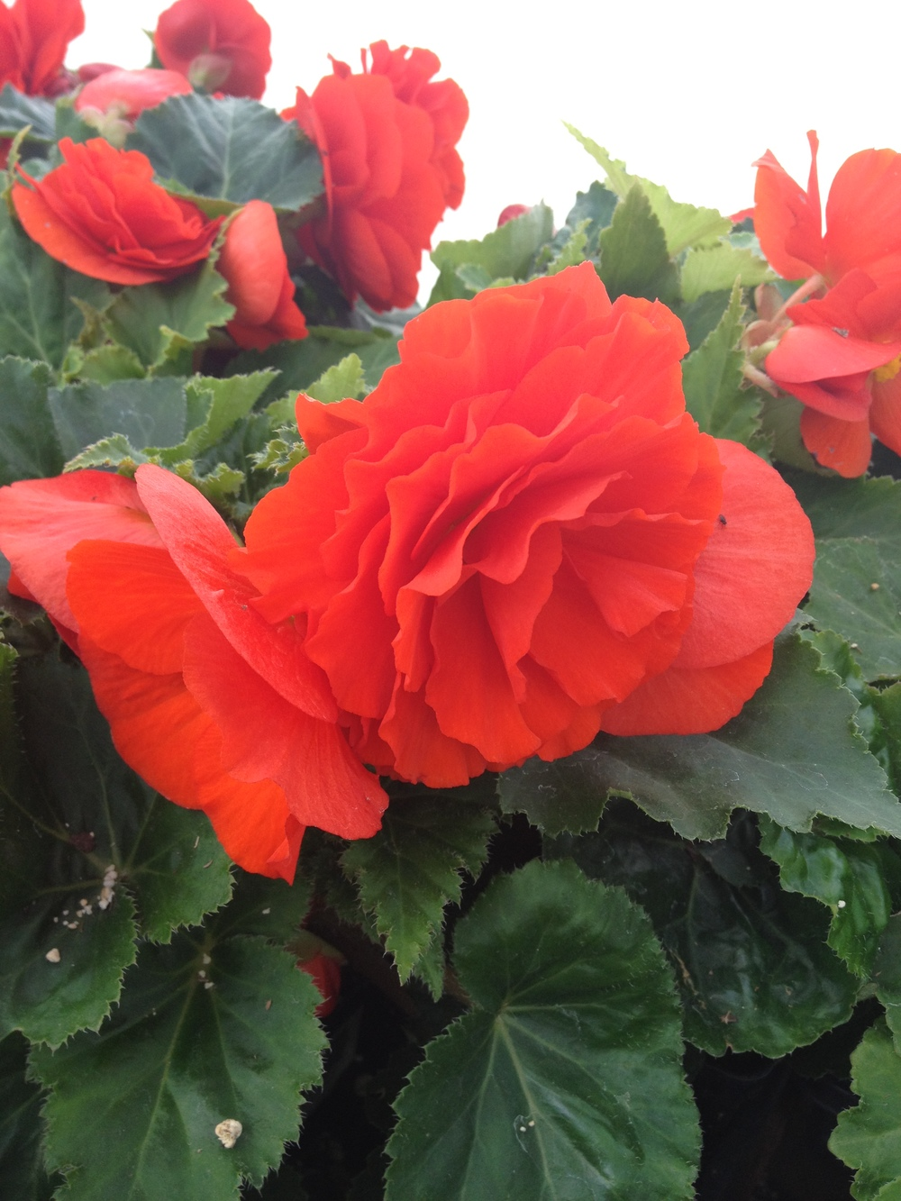 "Non-Stop Begonias are a very popular spring item at Schlegel Greenhouse and with their large blooms and lush full foliage it's easy to see why. A consistent performer during the spring it is sure to bring lots of color to your spring display. Non-stop begonias are featured in 3 sizes which are 4.5"" pots, 10"" hanging baskets, and 16"" grapevine baskets."