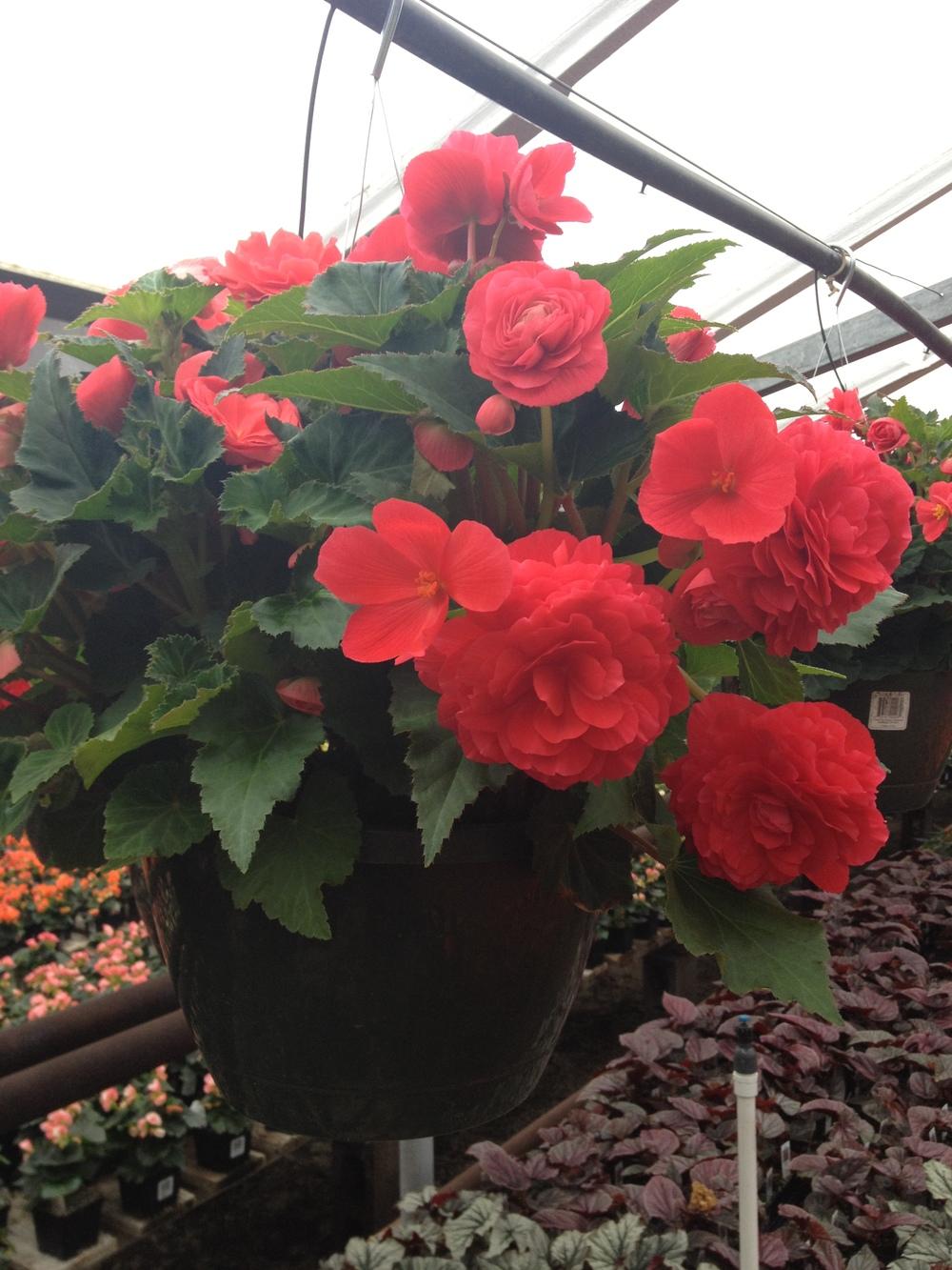 """10"""" Rose Non-Stop Begonia Hanging Basket"""