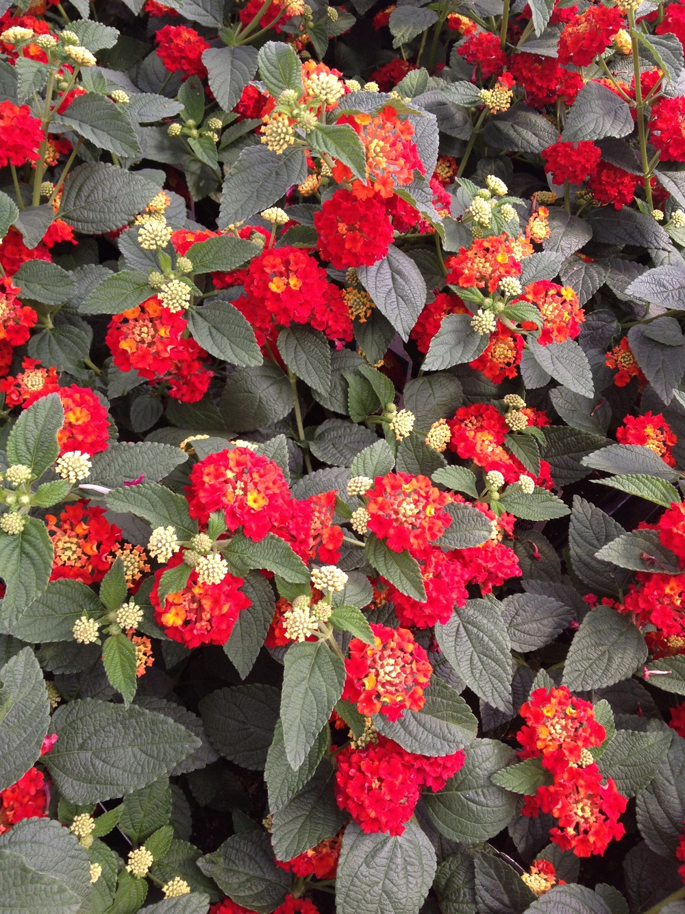 "4.5"" Dallas Red Lantana"