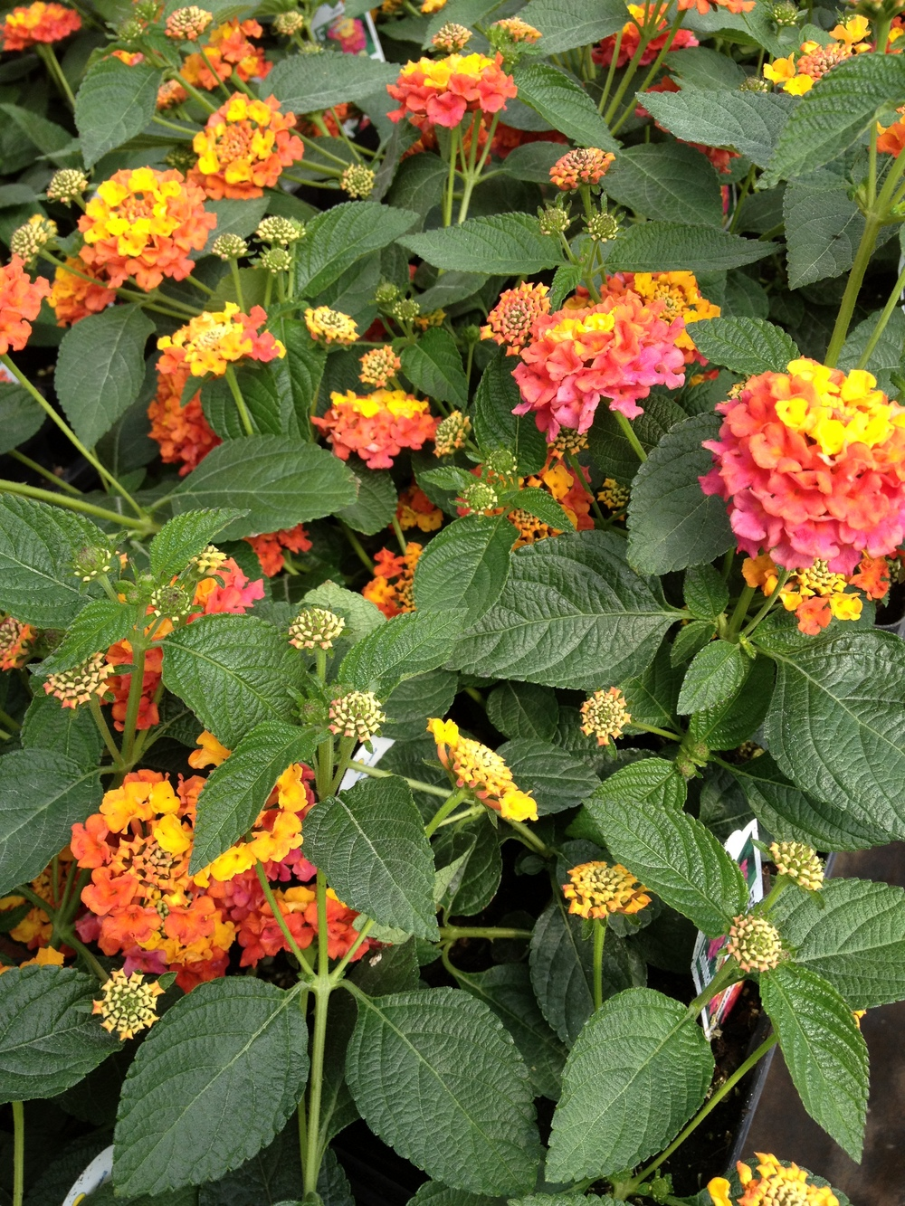 "4.5"" Sunrise Rose Lantana"