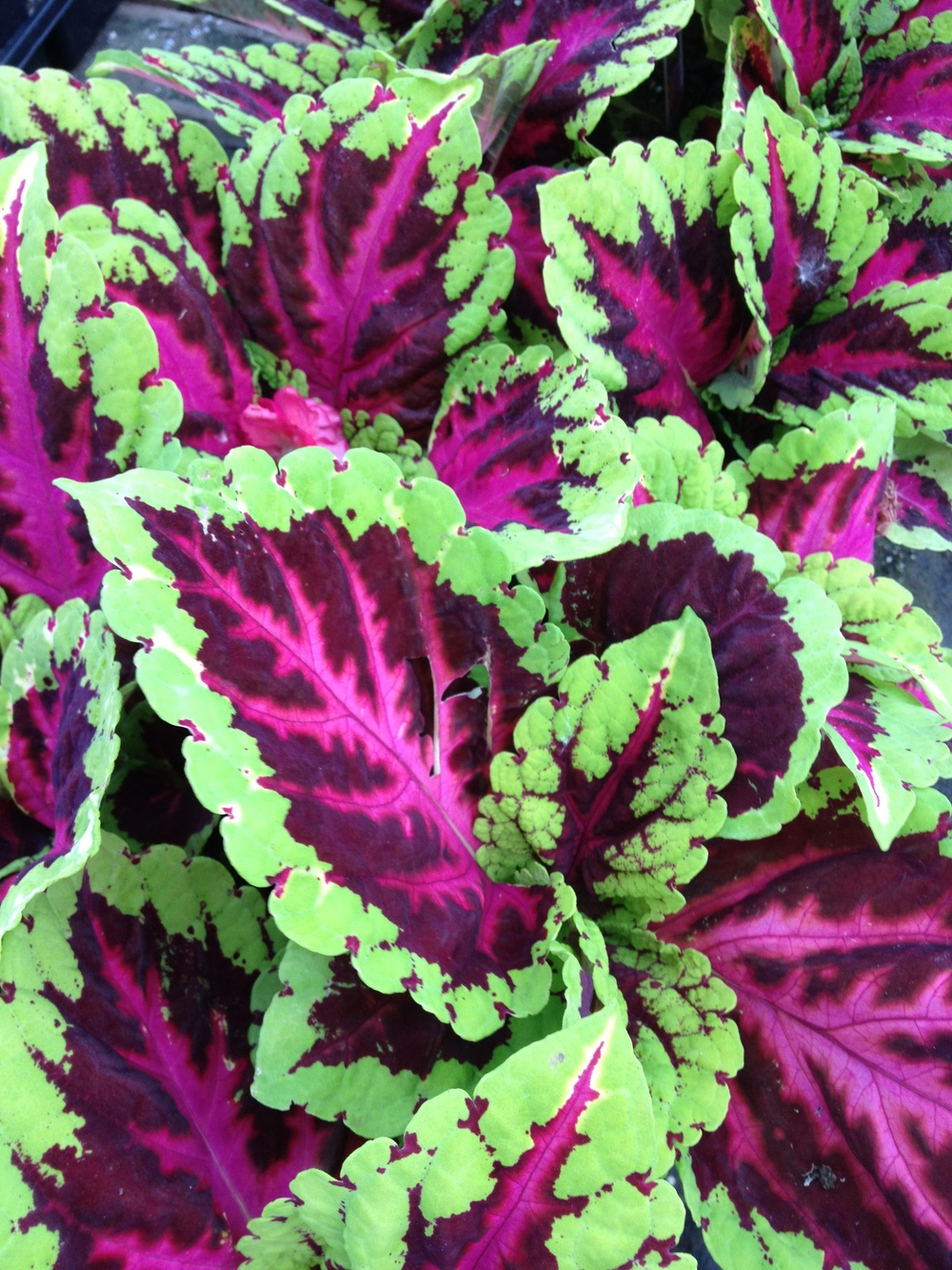 "Kong Coleus provide large brightly colored leaves to a shaded spot. They work great in planters and as a bedding option and they always sell well on the retail end. We have four of the most popular varieties to choose from and they are available in 4.5"" pots."