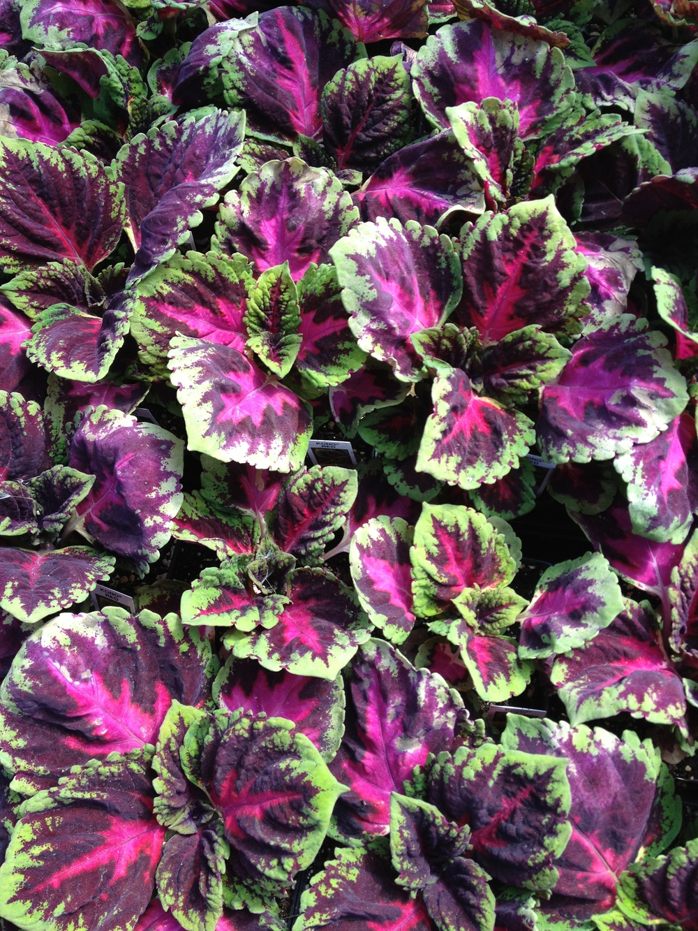 "4.5"" Red Kong Coleus"