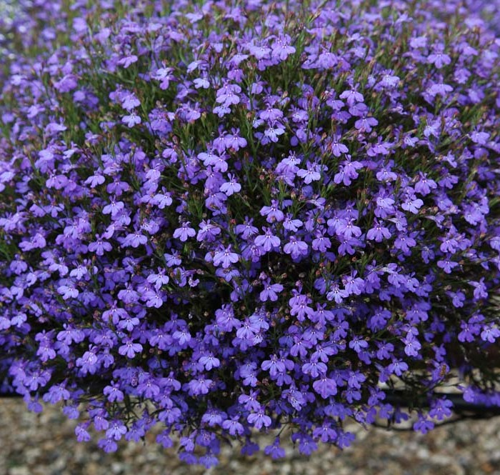 "Lobelia is a 4.5"" item at Schlegel Greenhouse is a early and late spring item that works great in planters and hanging baskets. It's a very aggressive plant with thousands of blooms which are featured in white, purple, and two shades of blue."