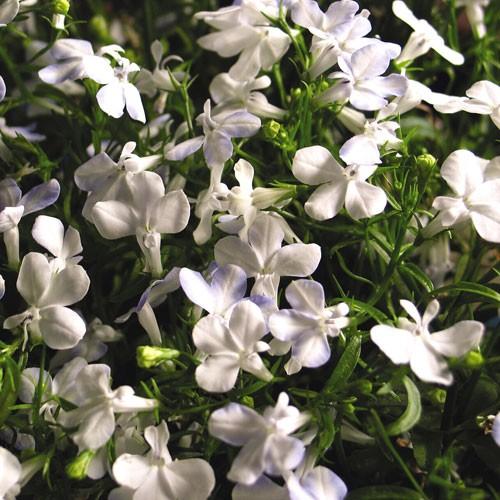 """4.5"""" White Sparkle Lobelia"""
