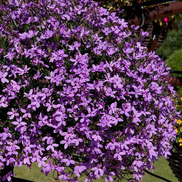 """4.5"""" Lavender Lobelia"""
