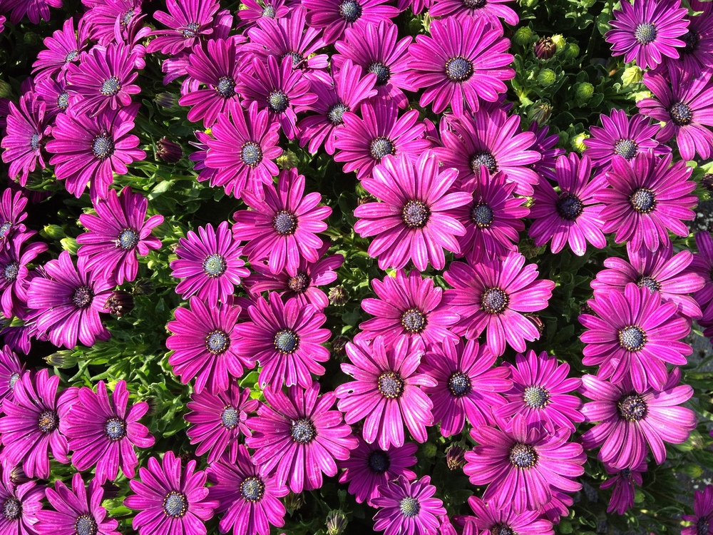 "Osteospermum are a great early to late spring item that we have available in 4.5"" pots and in some of our 16"" grapevine baskets. With their large daisy blooms and their vibrant colors they make an excellent addition to any retail display."