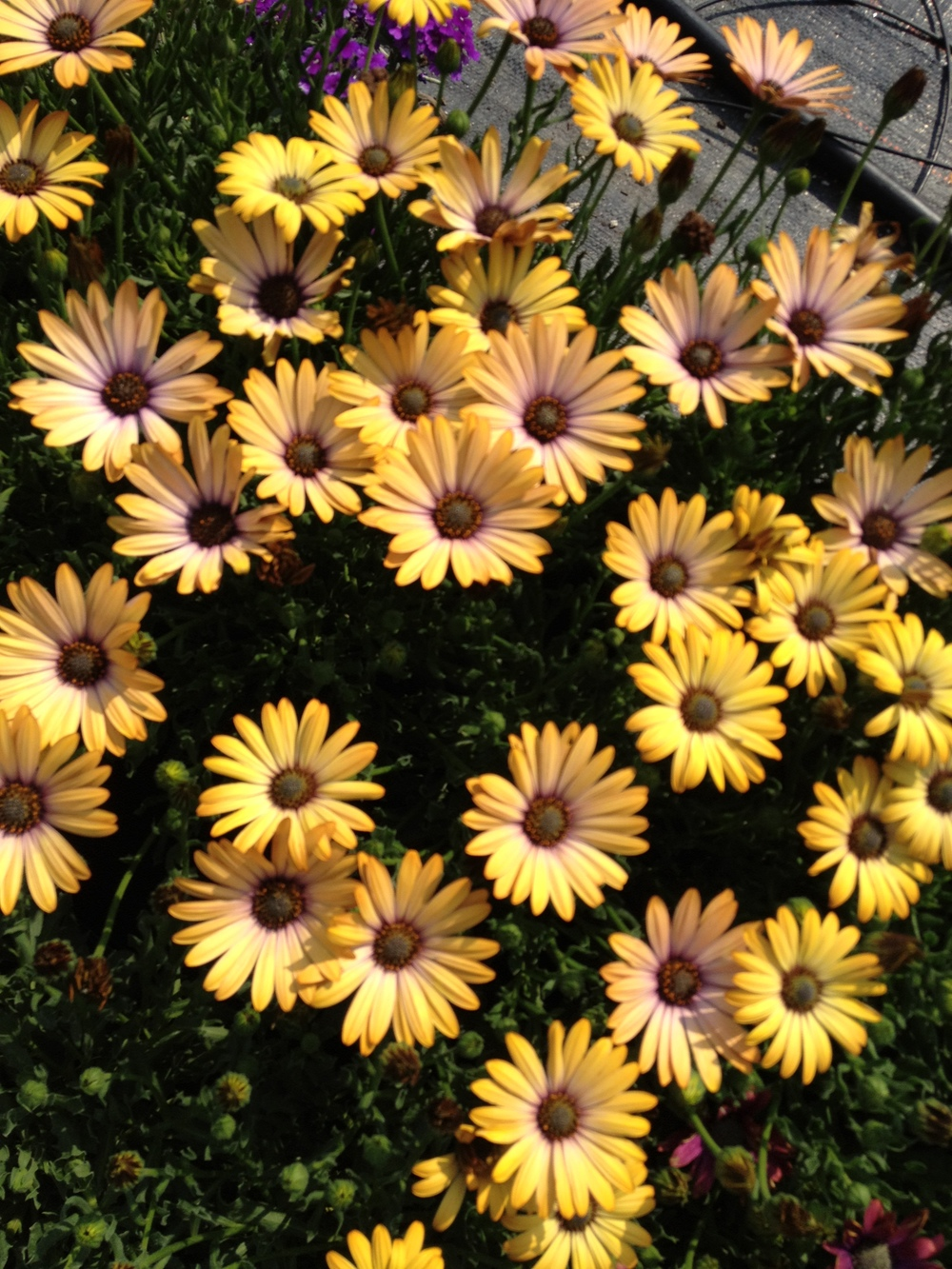 "4.5"" Yellow Osteospermum"