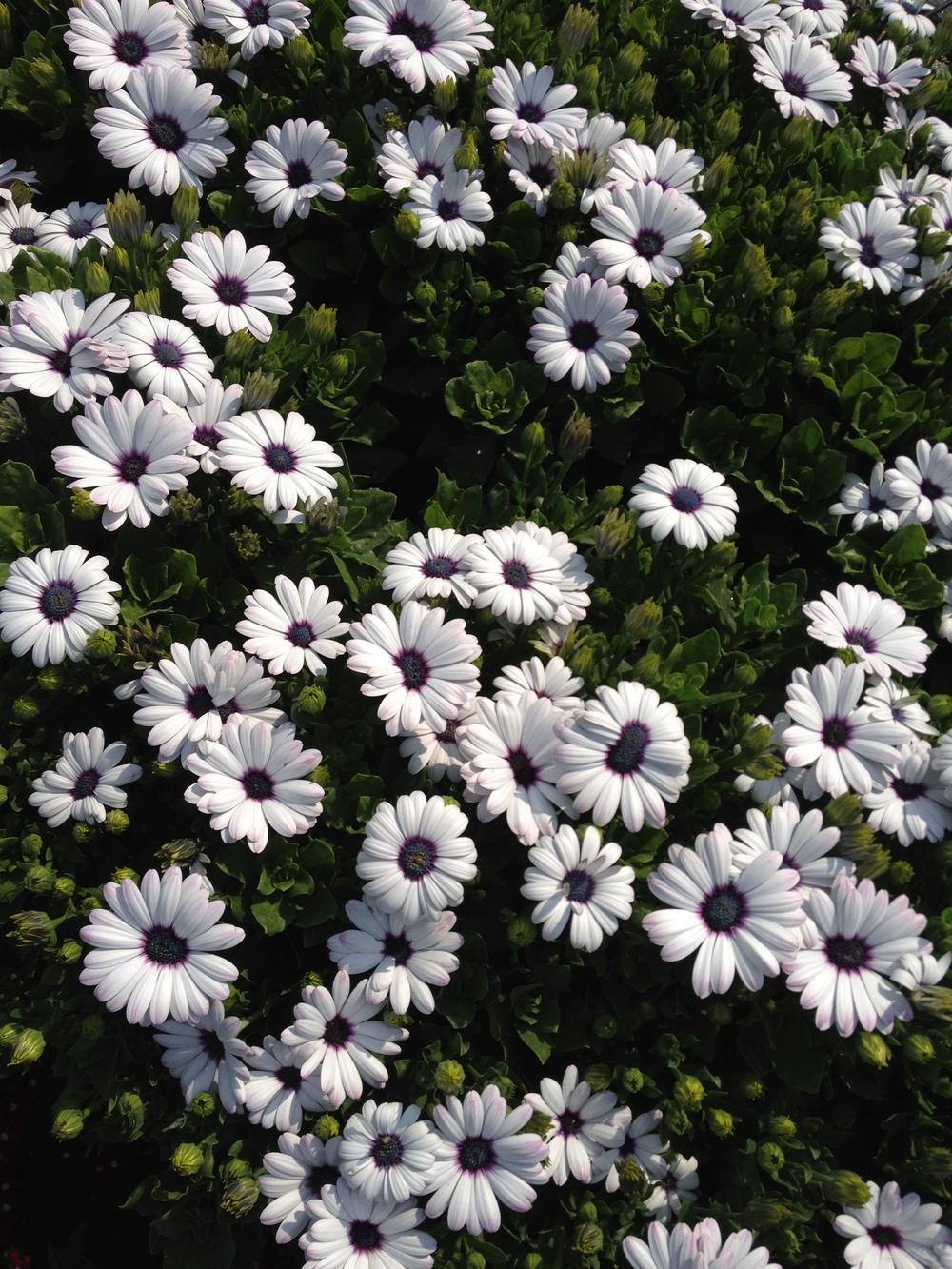 "4.5"" White Osteospermum"