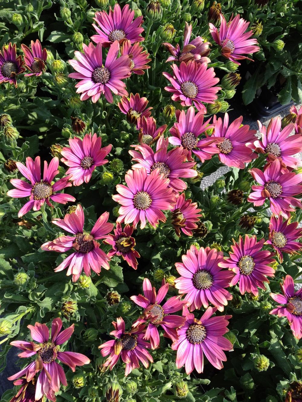 """4.5"""" Pink Osteospermum"""