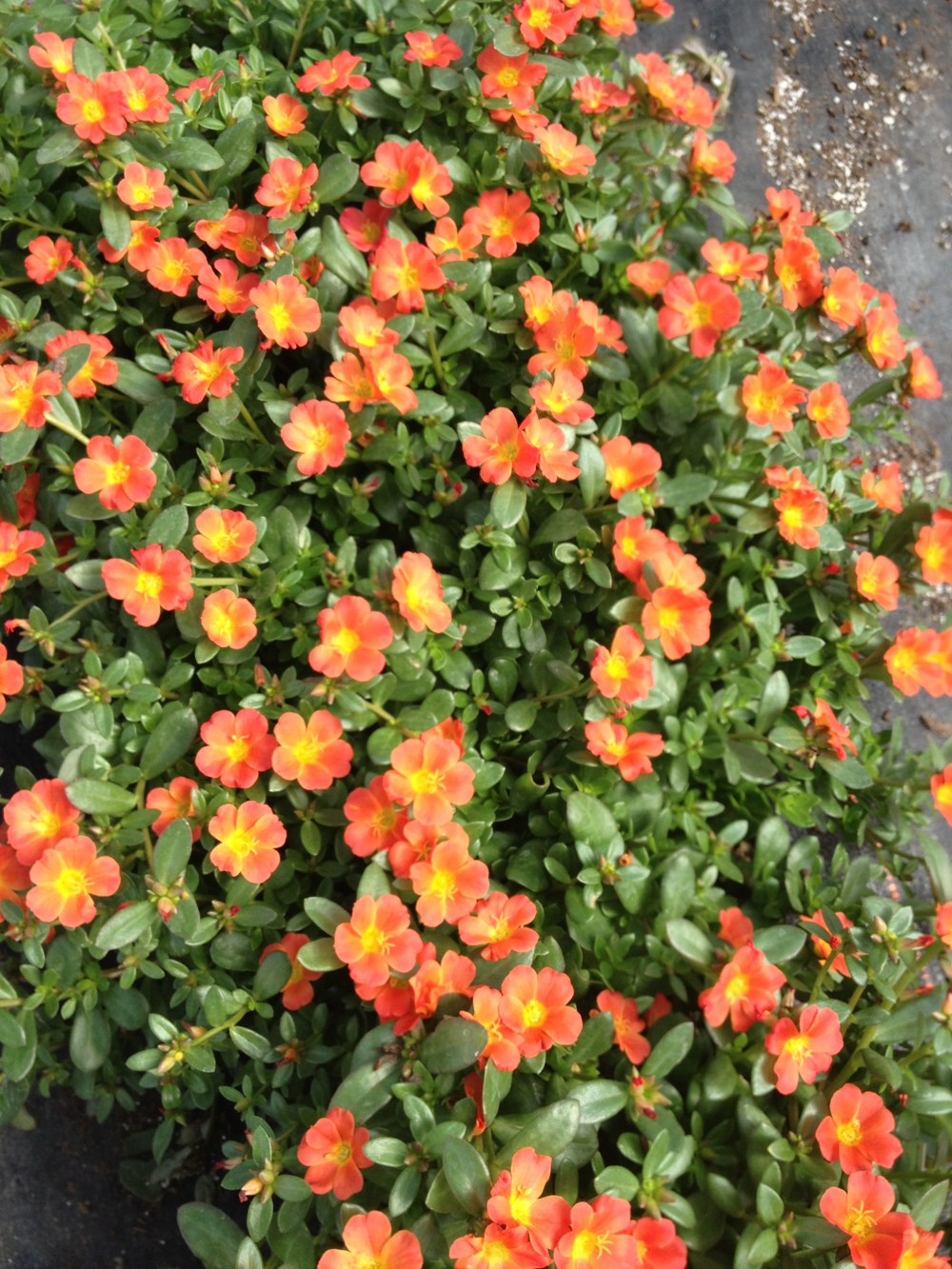 "Portulaca is a great late spring and summer plant that thrives in hot conditions. While it's low maintenance it doesn't lack in color and flowers. Once people buy Portulaca they usually end up coming back for me. We have Portulaca available in 4.5"" pots and 10"" hanging baskets."