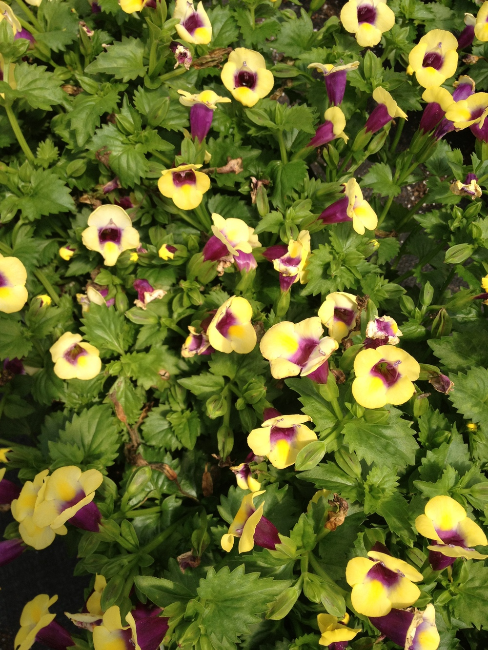 "Torenia has seen improved popularity in recent years. It's unique flower shape and it's trailing habits lend it a unique opportunity as an excellent shade item. It can do well during the humid summer months and works best in planters and baskets. It is available in 4.5"" pots."