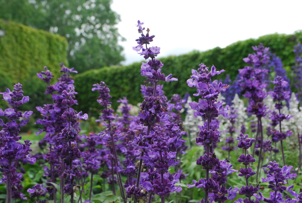 "4.5"" Purple Salvia"