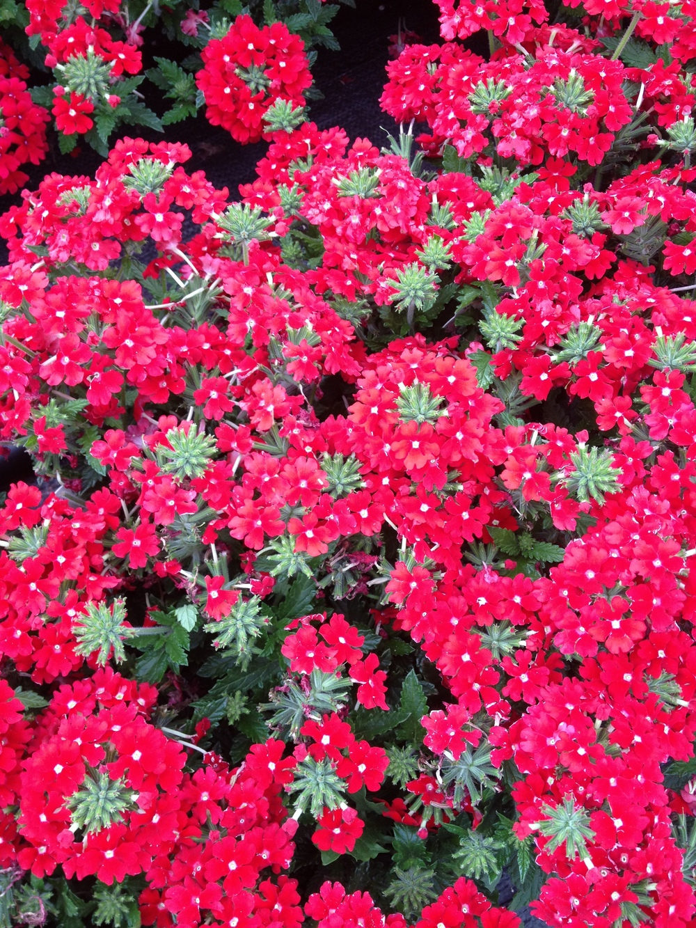 "Verbena is an excellent 4.5"" item because it's specialty is filling in planters and baskets with excellent color, vigor, and sustained beauty throughout the spring and summer. Few varieties possess as many vibrant color options and Verbena will surely be an excellent seller throughout the spring and summer months."