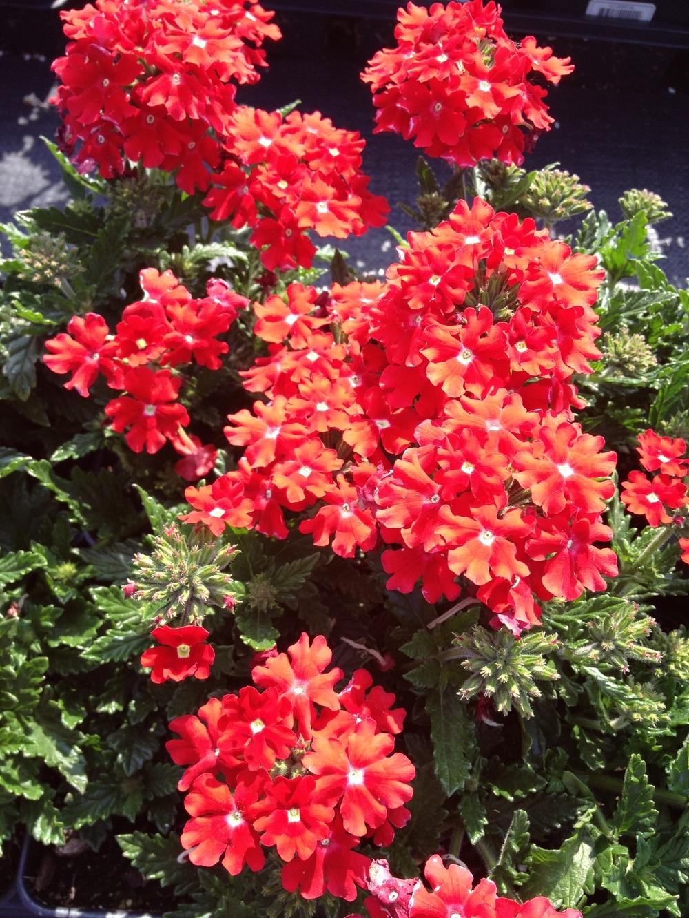 """4.5"""" Red Verbena"""