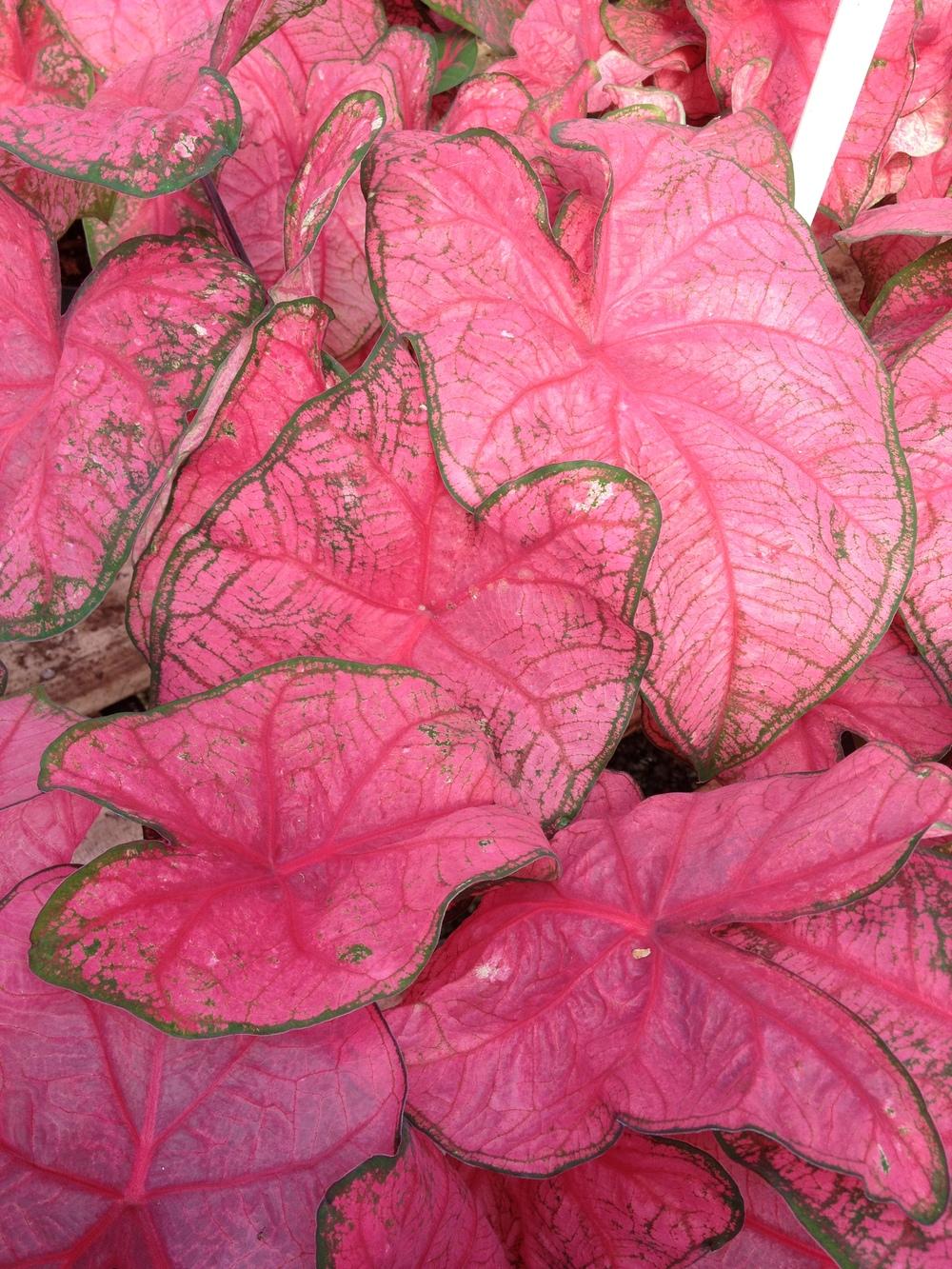 "6.5"" Pink Caladium"