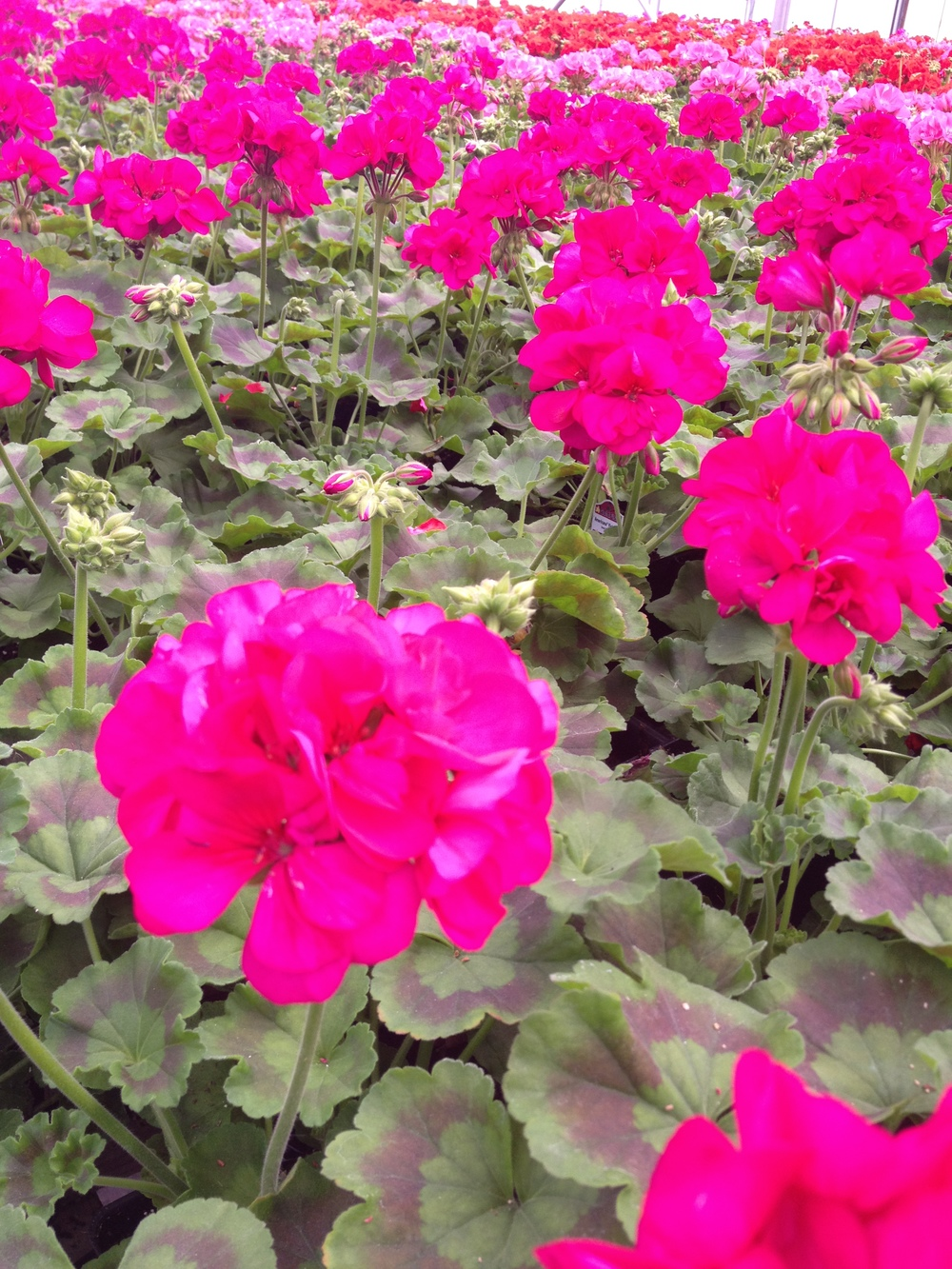 "Geraniums are our staple crop. We grow them in every size and color available and are committed to having the best geraniums that money can buy. Our 4.5"" geranium production is a huge part of our business as well as our tub geraniums available in 8"" and 12"" pots. For a premium item consider the Geranium Tree which can only be purchased at Schlegel Greenhouse and grows to up to 4 feet tall."