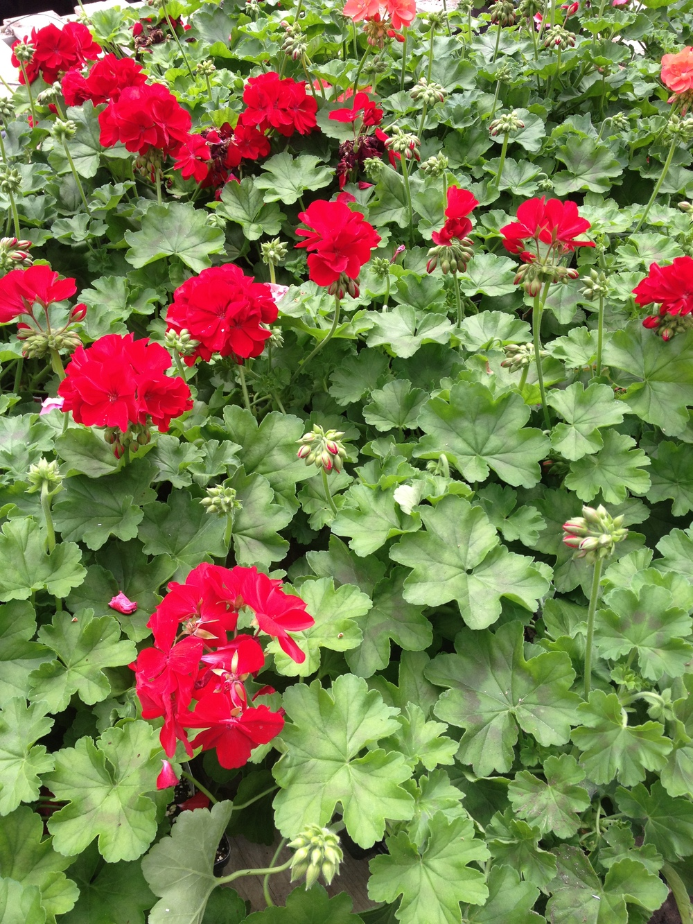"4.5"" Caliope Geraniums"