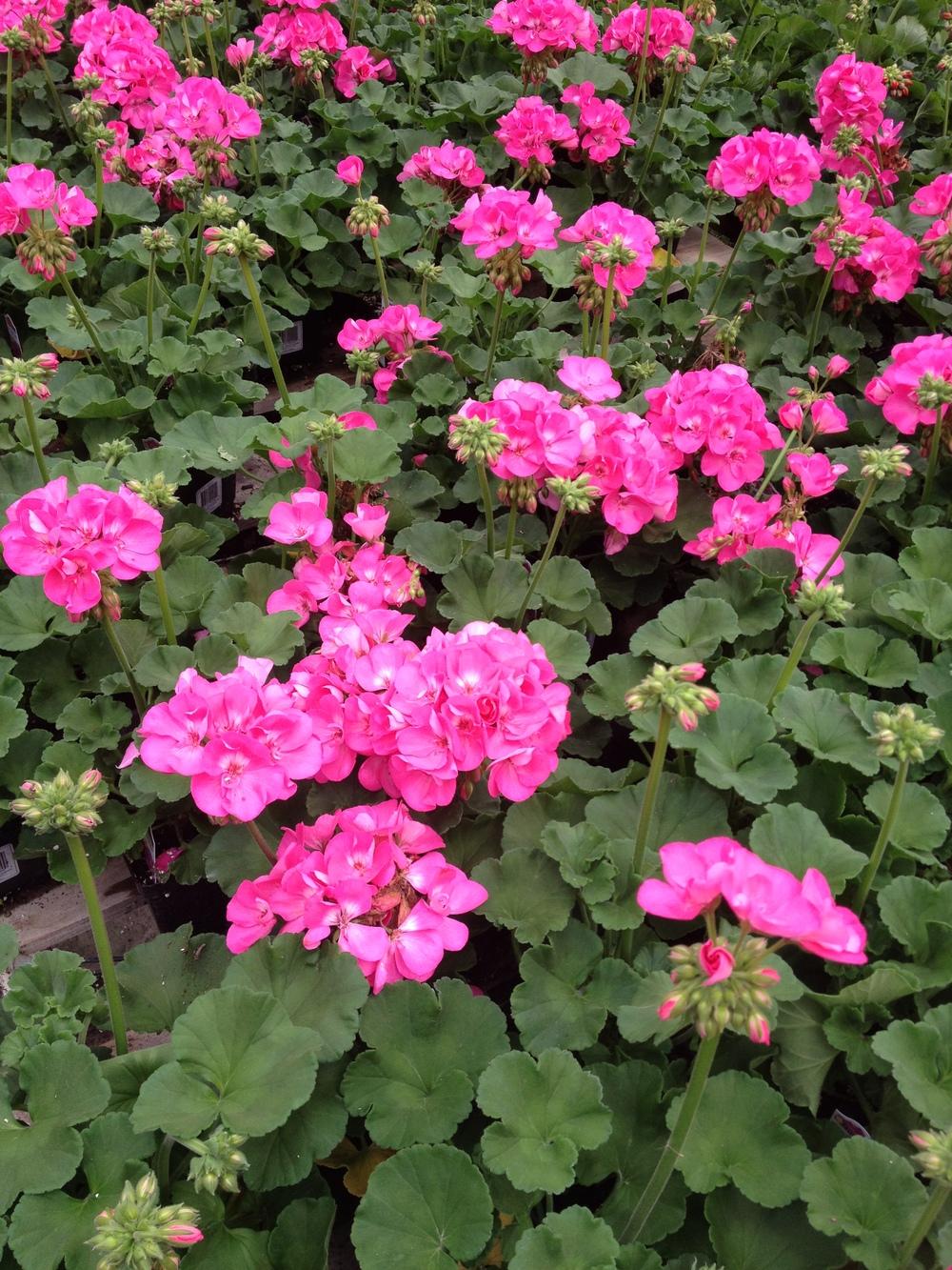 "4.5"" Pink Geranium"