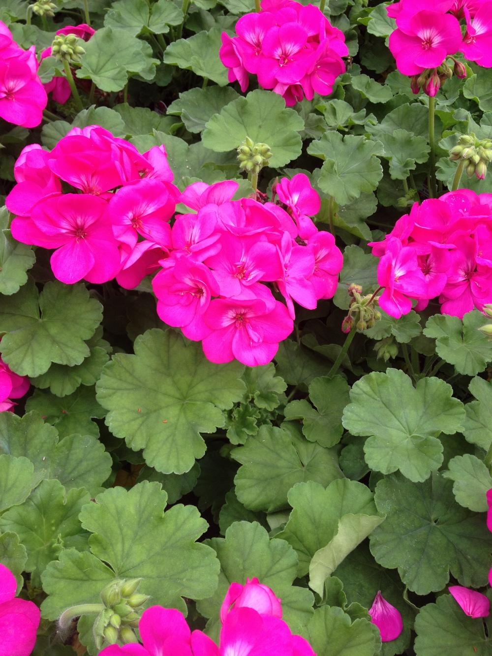 "4.5"" Violet Geraniums"