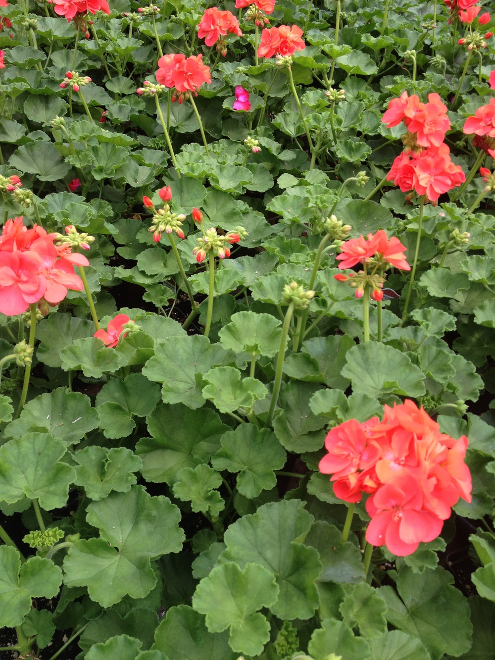 "4.5"" Coral Geraniums"