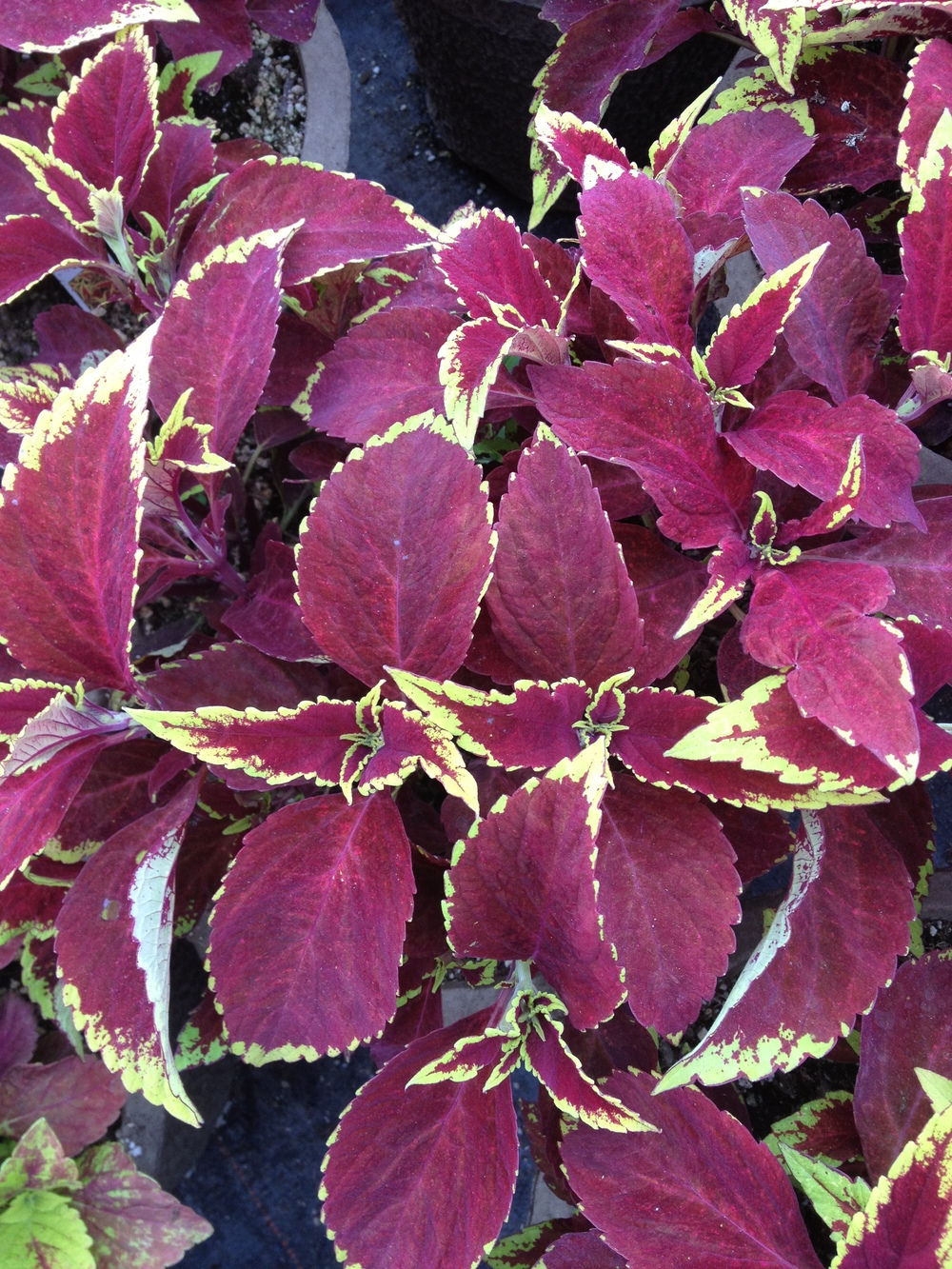 "Sun coleus is a very popular 4.5"" item at Schlegel Greenhouse. We dedicate a large amount of our production space to Coleus and are committed to expanding our variety of choices every year. Coleus can go a long way to brightening up a sunny area with unique leaf designs and good height."