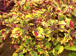 "4.5"" Eruption Coleus"