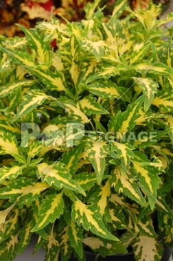 "4.5"" Green Autry Coleus"