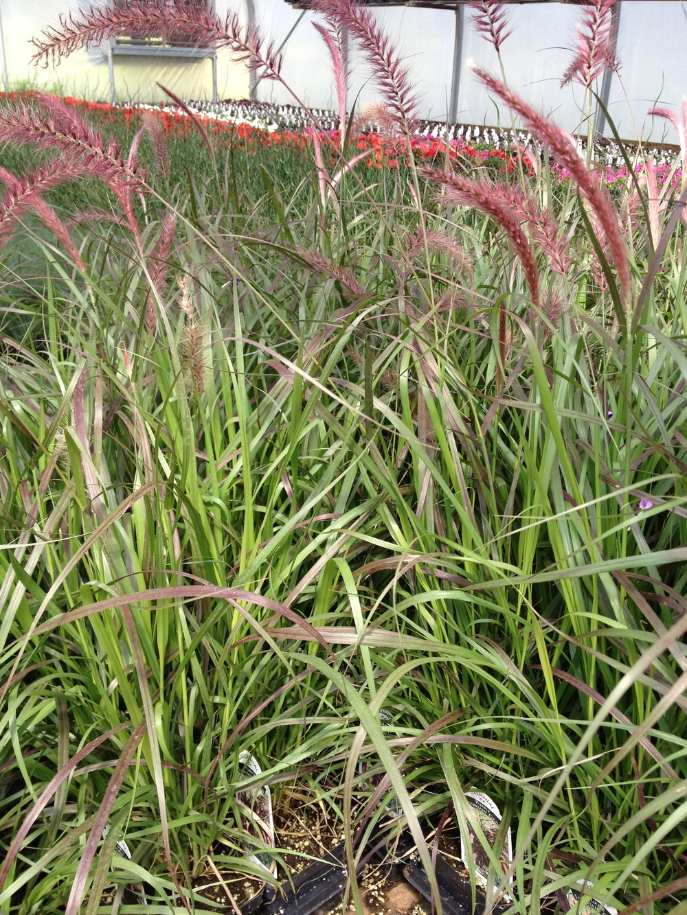 "4.5"" Purple Fountain Grass"