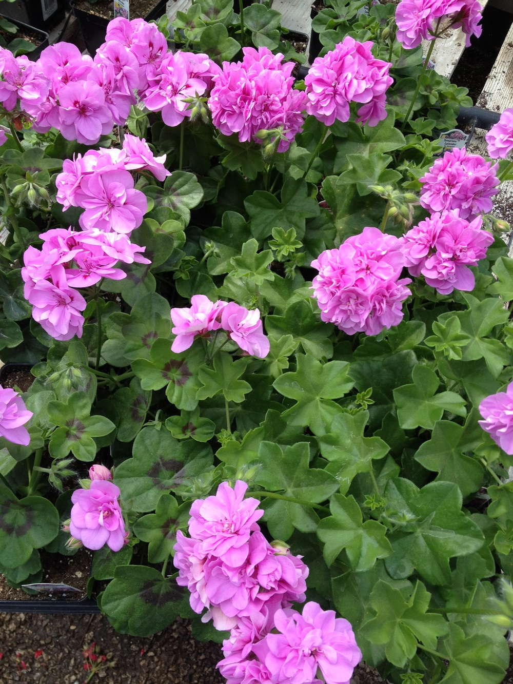 "4.5"" Lavender Ivy Geraniums"