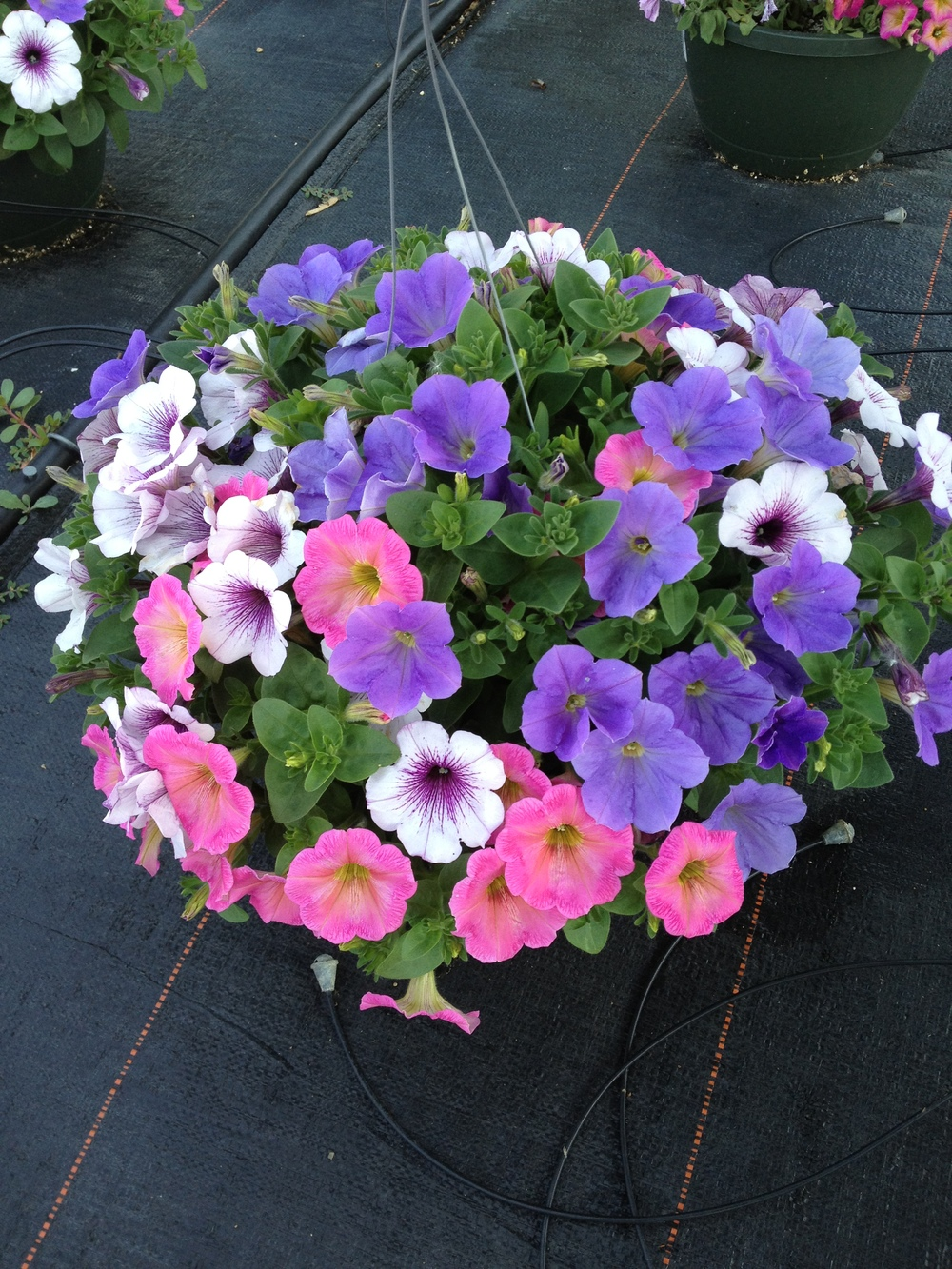 "Petunias add beautiful color in a variety of colors in a full sun environment. Awesome in planters, baskets, and bedding. It truly is one of the most beautiful and versatile spring annual on the market and it popularity over the years has proven this time and time again. Petunias are featured in 4.5"", 8"" and 12"" sun combo planters, 10"" and 12"" hanging baskets, and 16"" grapevine baskets."