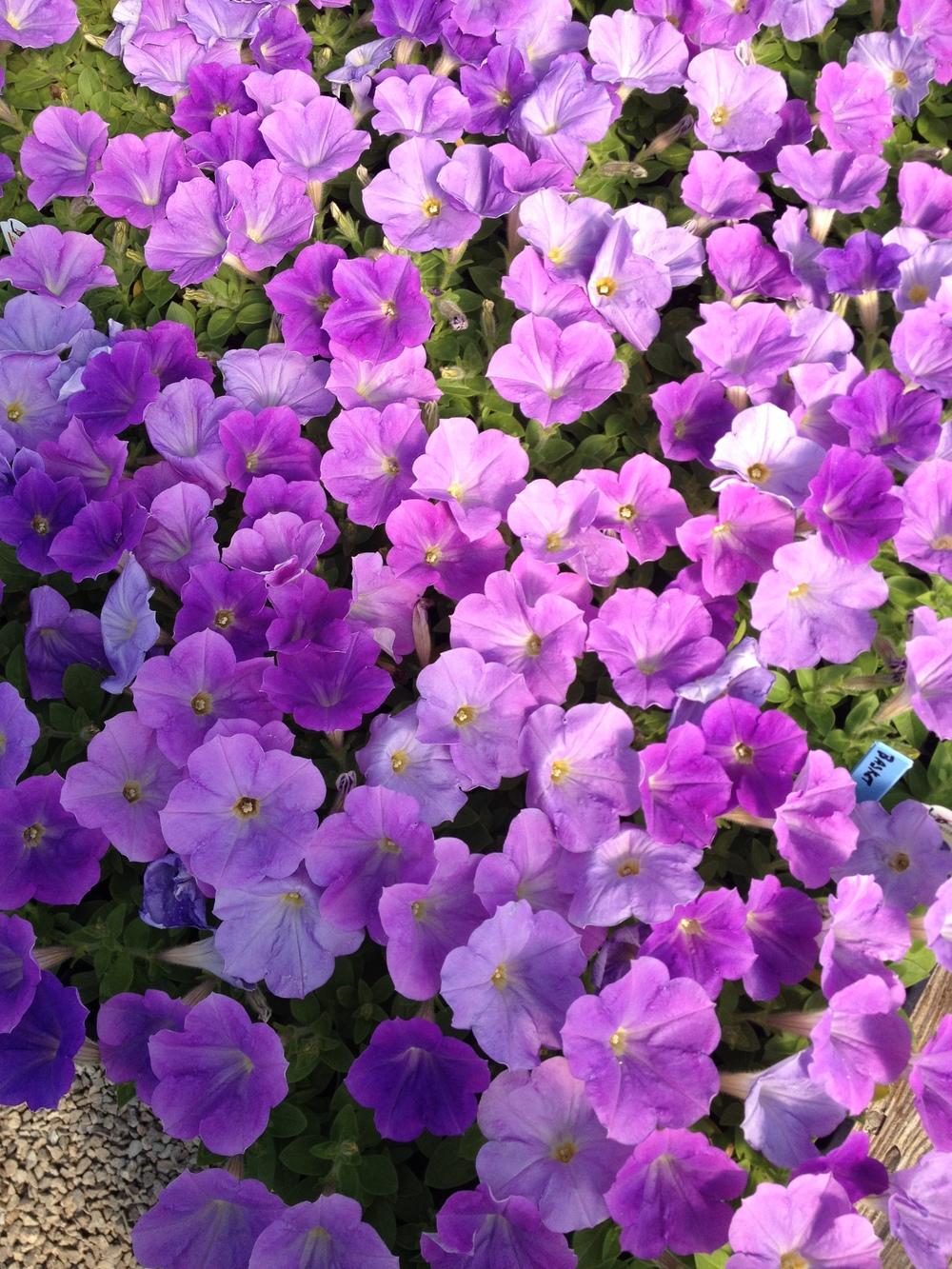 """4.5"""" Lavender Petunia"""