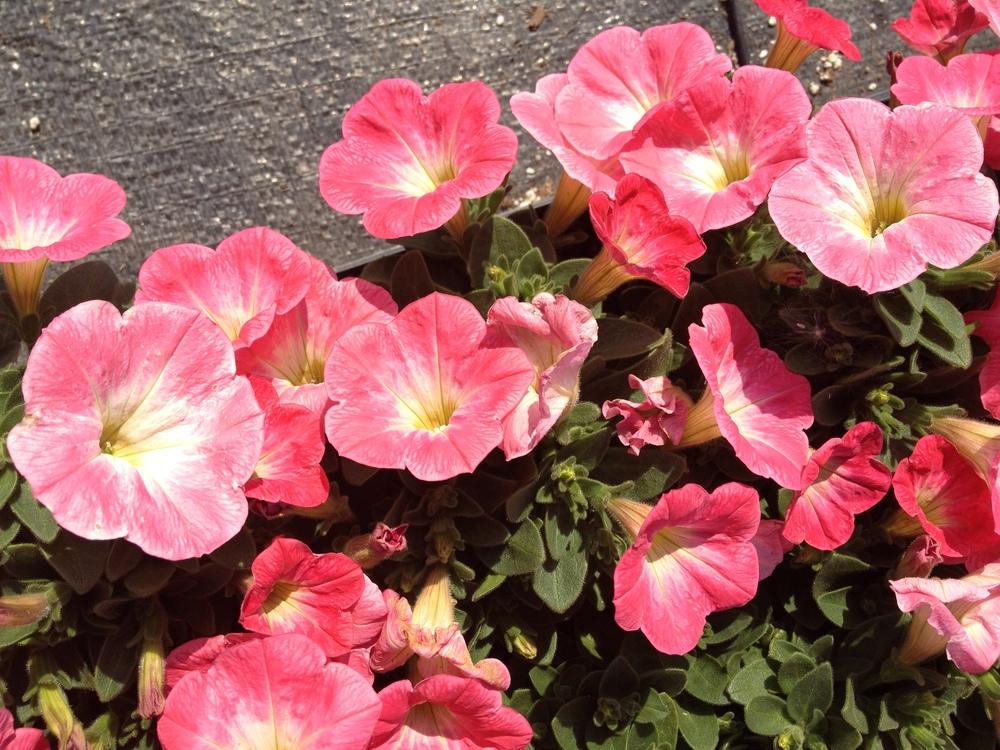 "4.5"" Pink Petunias"