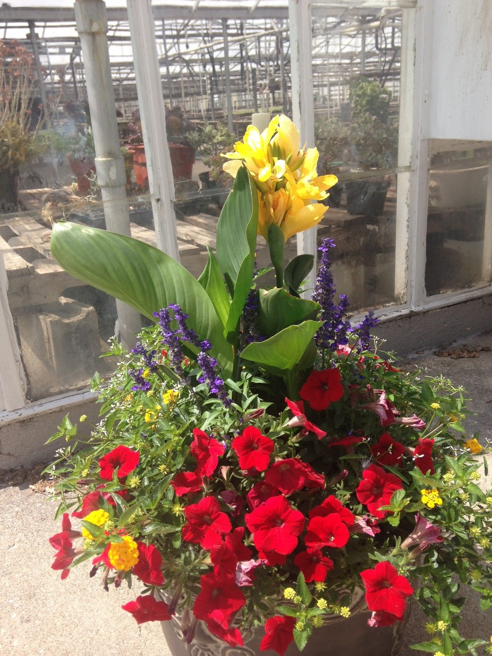 "Cannas offer excellent height and beautiful blooms to showcase either a planter or in a bedding arrangement. A favorite of landscapers and retail stores alike, we off Cannas in 6.5"" pots in the tropical variety so they can showcase their size and color."