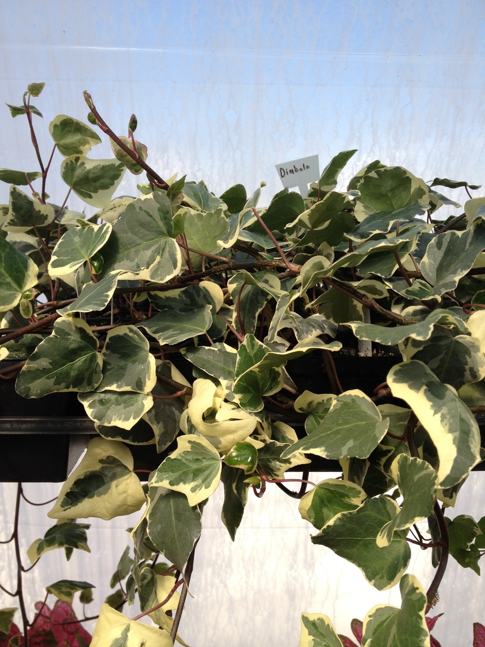 """4.5"""" Marengo Ivy"""