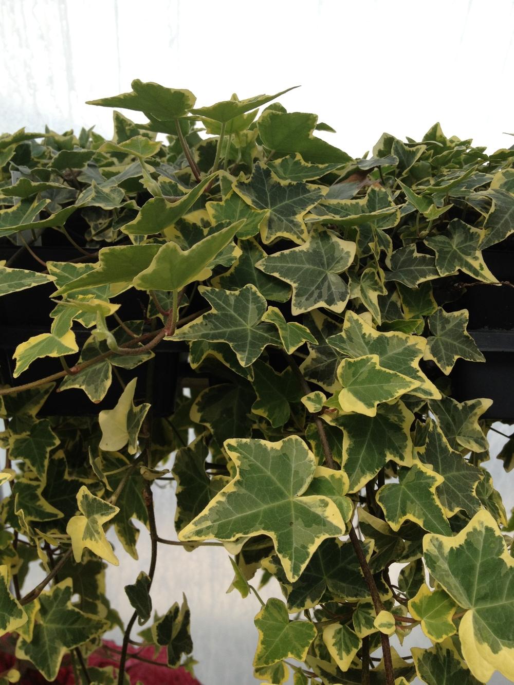 """4.5"""" Goldchild Ivy"""