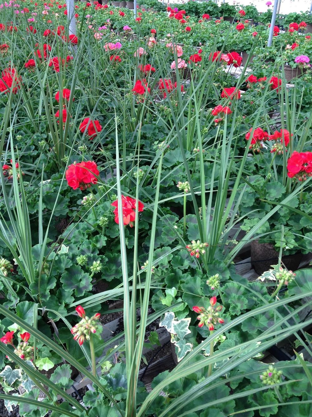 """Dracaena in 12"""" Geranium Planters"""