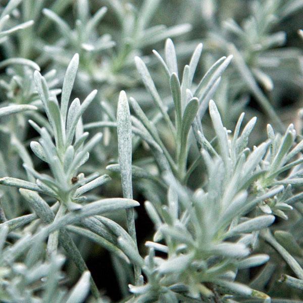 "4.5"" Helichrysum"