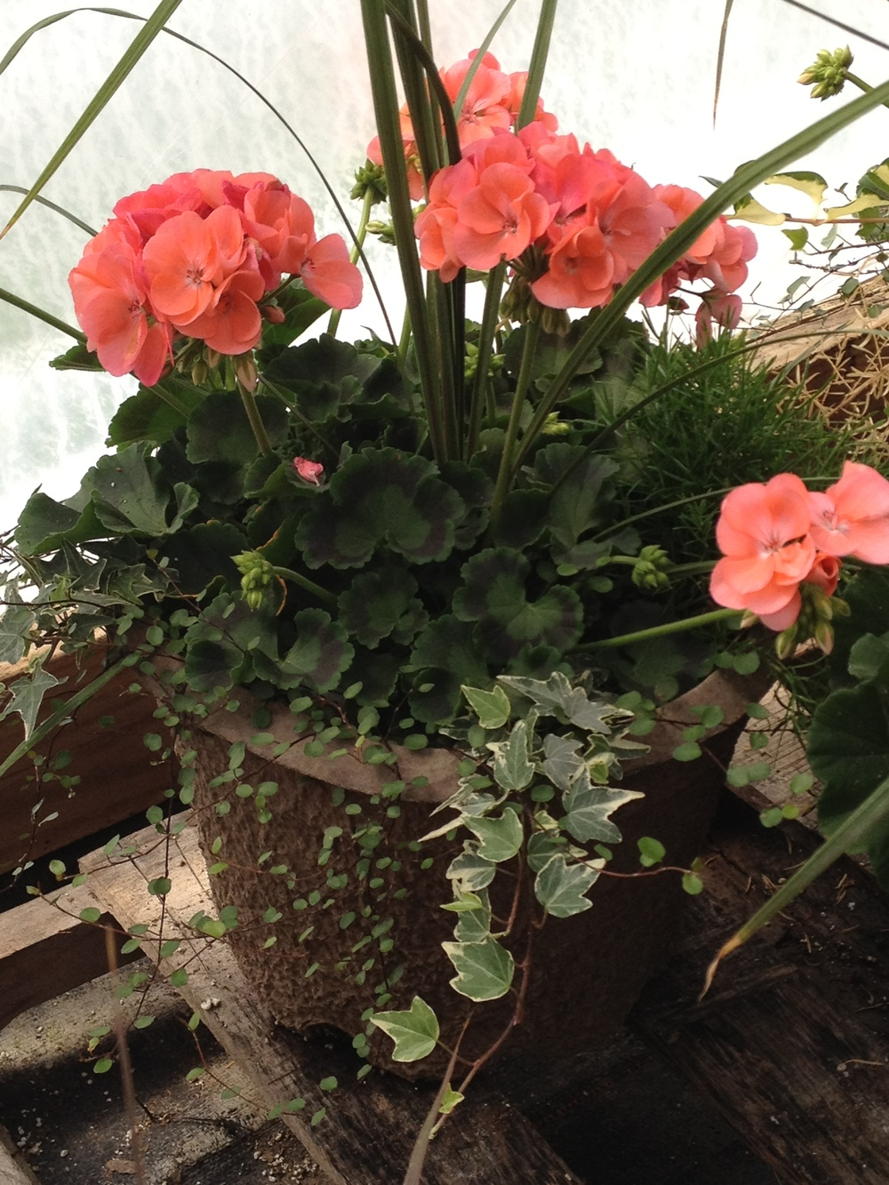 "12"" Geranium Combination Planter"