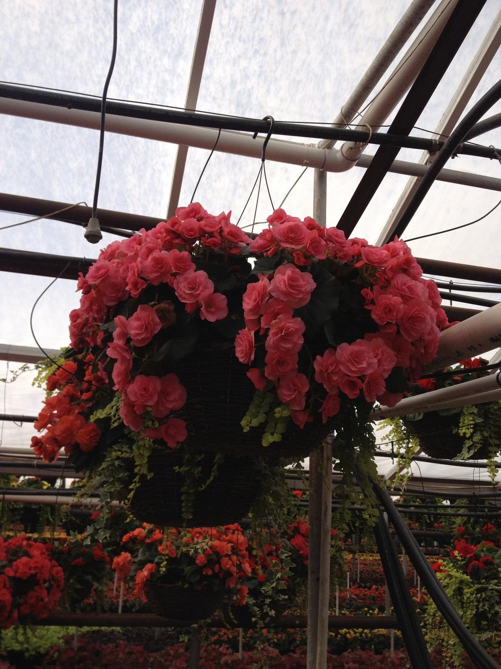 """16"""" Reiger Begonia Grapevine Basket"""