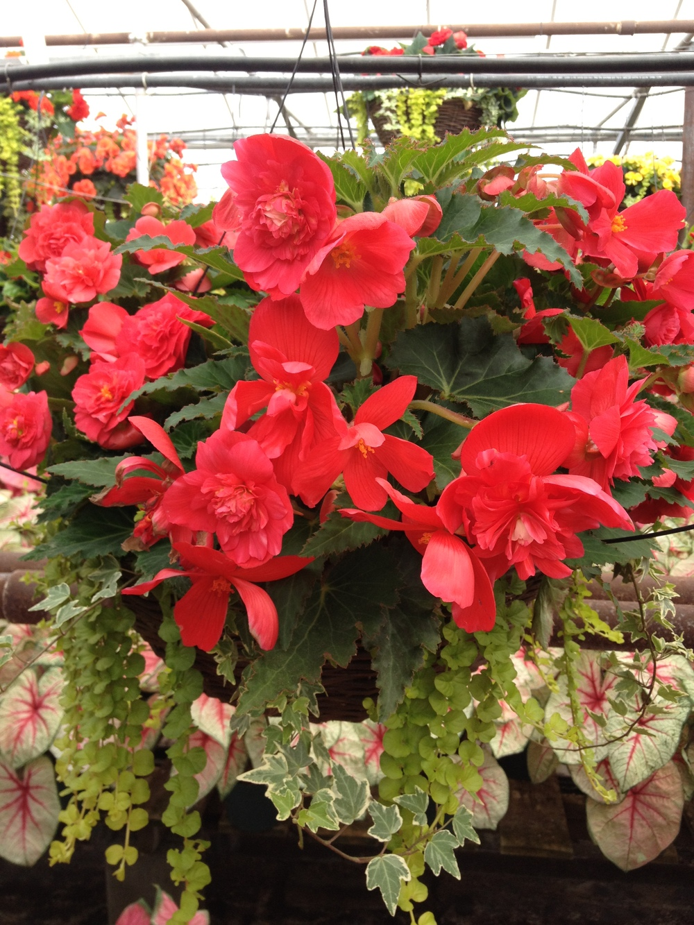 "16"" Illumination Begonia Grapevine Basket"