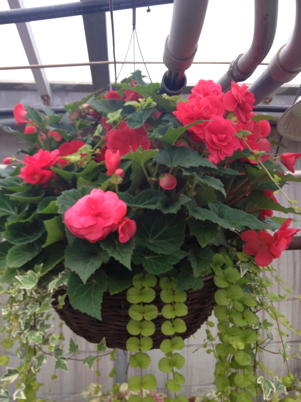 "16"" Nonstop Begonia Grapevine Basket"