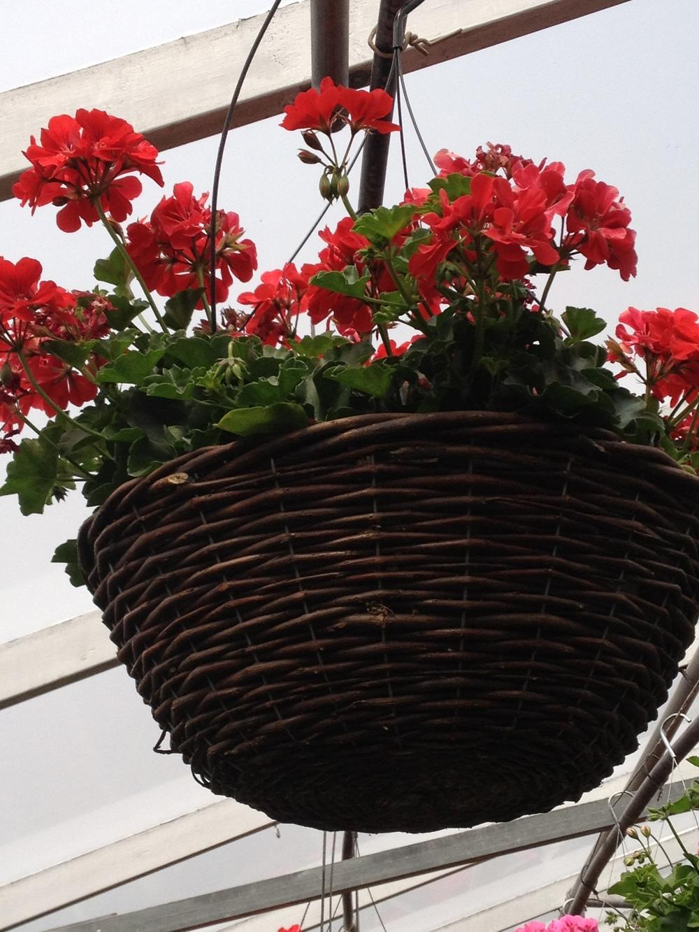 """16"""" Cascade Geranium Grapevine Basket"""