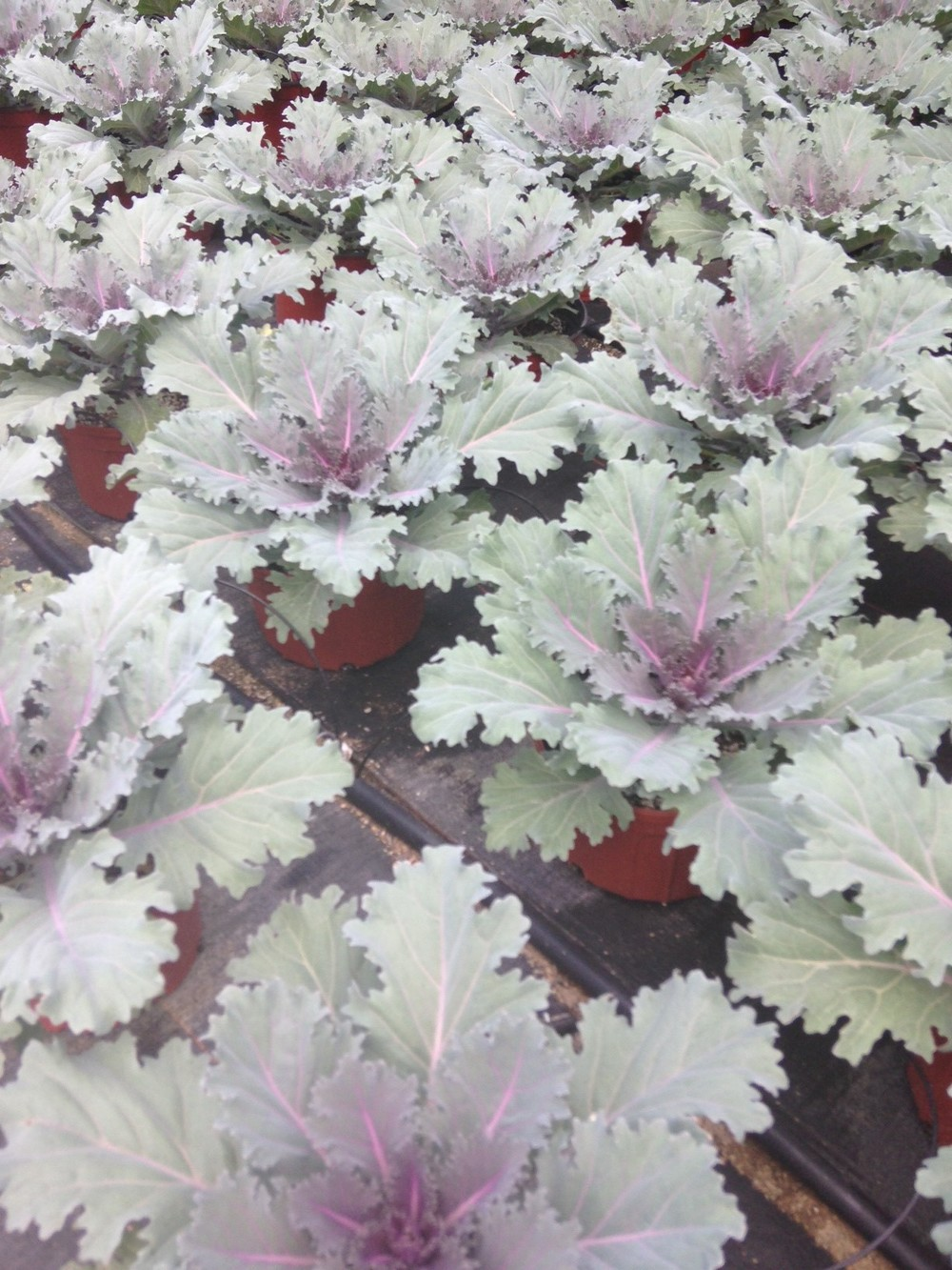 "9"" Purple Kale"